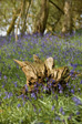 Image: Odds and Sods - Log in Bluebells