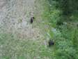 Photo: Canada 2006 - Black bears, I think.