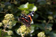 Pictures: Weymouth - An out of focus Red Admiral